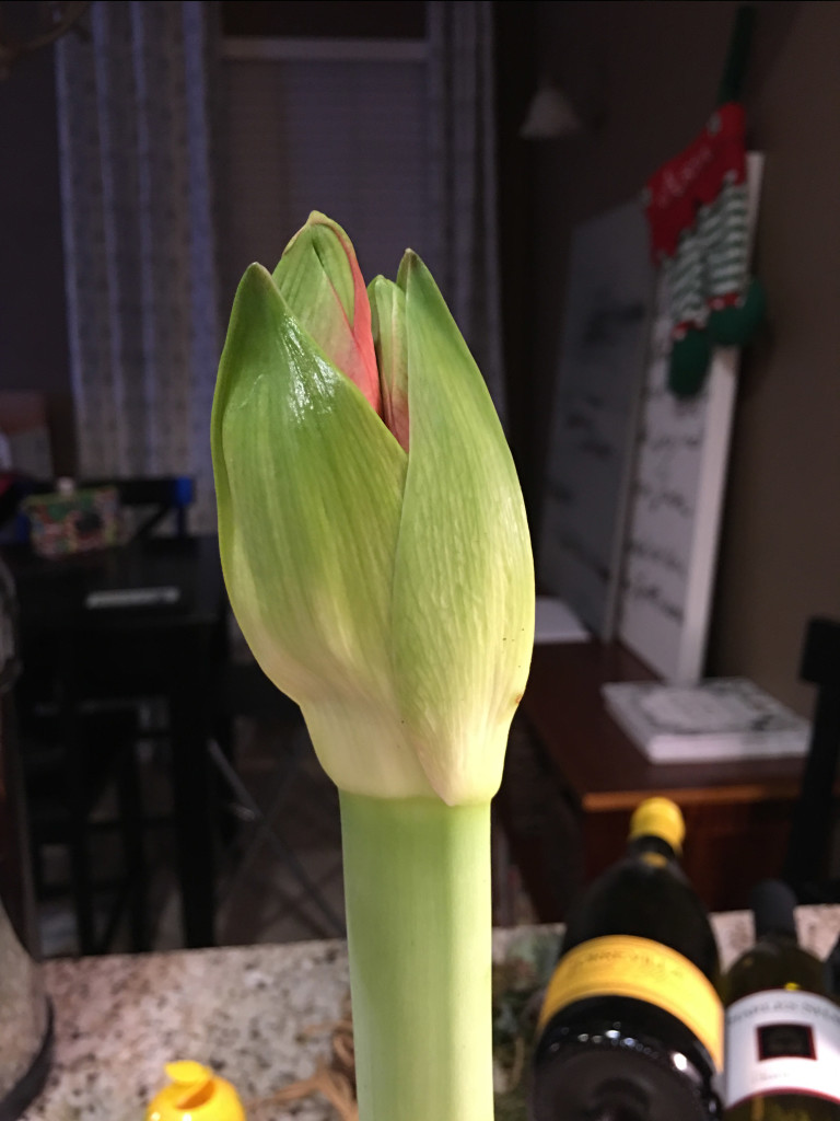 Amaryllis is getting ready to bloom